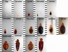 bed bug identification chart want to if you