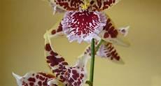 orchidee fiori appassiti potatura orchidea orchidee potare un orchidea