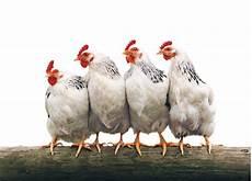 galline da cortile animali da cortile page 6
