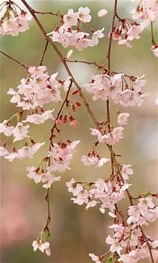 iphone wallpaper hd cherry blossom cherry blossom wallpaper for iphone wallpapersafari