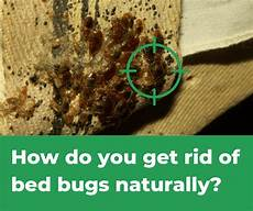 How Do You Get Bed Bugs How Do You Get Rid Of Bed Bugs Naturally Simple Answer