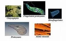 Protista Examples Kingdom Protista Classification Characteristics Examples