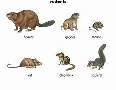 Little Animals With Long Tails Mouse 1 Noun Definition Pictures Pronunciation And