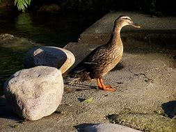 Image result for Anatidae
