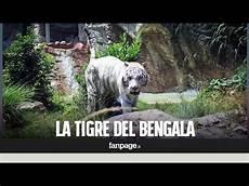 tigre in gabbia il bioparco di roma accoglie gladio la tigre bengala
