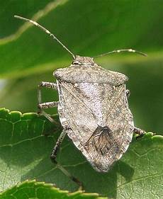Brown Marmorated Stink Bug Virginia S Tree Fruit Industry Has New Insecticide To