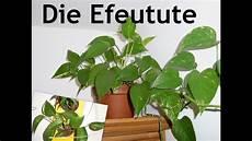 zimmerpflanzen luftreiniger die efeutute eine zimmerpflanze f 252 r jedermann