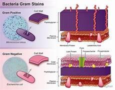 Gram Positive And Gram Negative Bacteria Chart Quot Gram Positive Vs Gram Negative Bacteria Quot By Stanleyillust