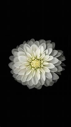 live flower wallpaper iphone white lotus iphone 6 still 1080 x 1920 wallpapers