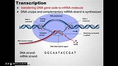 Transcription Biology Ap Bio Prep Transcription And Translation Youtube