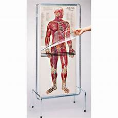 Full Body Anatomy Chart Thin Man Life Size Anatomy Chart Dg700 Full Body