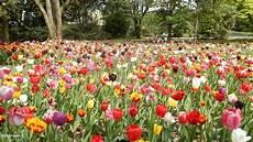 tulipani fiori un prato di tulipani foto immagini piante fiori e