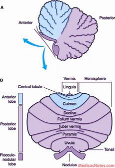 Cerebellum Anatomy Basic Anatomy Of Cerebellum