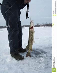 stor fisk stor fisk arkivfoto bild av banhoppning g 228 l fenor