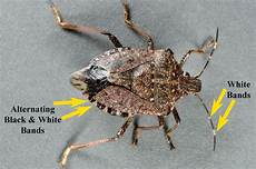 Brown Marmorated Stink Bug Managing Mites In A Bmsb World Purdue University Facts