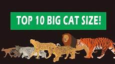 Bengal Cat Size Chart Big Cats Size Comparison Youtube