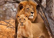 Lion And Lioness Designs Lion And Lioness Postcard Authentic Cards Inc