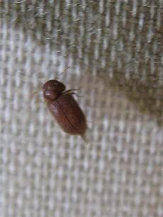 Small Light Brown Bug Natureplus What Is This Small Brown Beetle