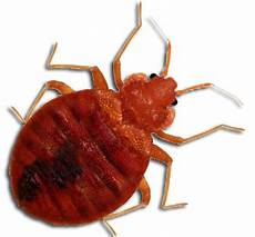 bedbugs in the workplace what you need to knowbedbugs
