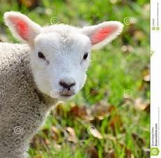 Newborn Lamb Newborn Baby Lamb Stock Photo Image Of Happy Adorable