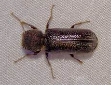 Powderpost Beetle Powderpost Beetle Extermination Pest Control Of Bed Bugs