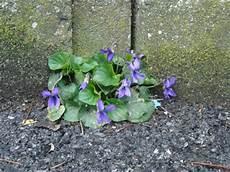 fiori tra l asfalto tutti pazzi per le piante viola mammola viola odorata