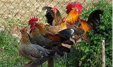 cerco animali da cortile galli foto immagini animali animali domestici e da