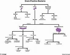Gram Positive And Gram Negative Chart Gram Positive Bacteria Step1 Microbiology Step 1