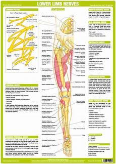 Lower Limb Nerve Anatomy Chart Anterior Chartex Ltd