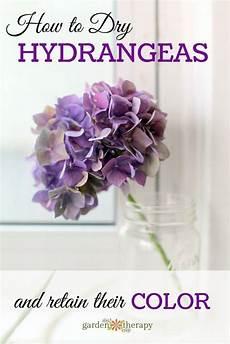 wie trocknet hortensien und beh 228 lt ihre farbe behalt farbe hortensien trocknet