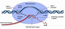 Transcription Biology Transcription