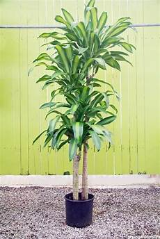 Dracaena Low Light 10 Easy Care Houseplants For Low Light