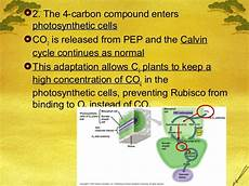 C3 C4 And Cam Plants Chart Ap Bio Ch 10 C3 C4 And Cam Plants