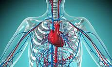 Circulatory System Organs An Overview Of The Cardiovascular System Components
