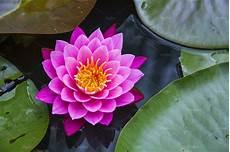 Flor De Lotus Pink And Yellow Lotus Flower Nature Photos