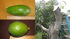 Different Types Of Avocado Avocado Tree Multi Grafted With Summer And Winter Strains