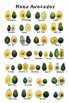 Different Types Of Avocado Hawaii Health Guide The Hawaii Avocado Festival 2008