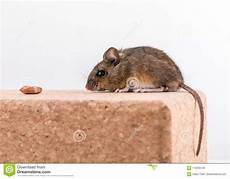 Light Bricks Peanuts Side View Of A Cute Wood Mouse Apodemus Sylvaticus