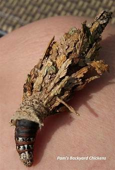 How To Treat Bagworms How To Get Rid Of Bagworms With Images Bag Worms Tree