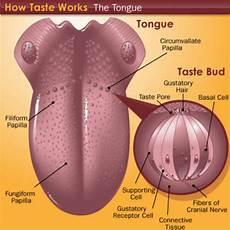Tongue Anatomy Tongue Anatomy