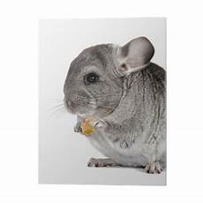 chinchilla chinchilla regales dried fruit pvc