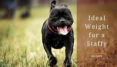 Staffordshire Bull Terrier Weight Chart What Is The Ideal Weight For A Staffy How To Keep A Dog