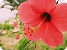 fiore ibisco significato casa moderna roma italy fiori di ibisco significato