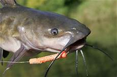 Flathead Catfish Length Weight Chart Channel Catfish Weight Conversion Chart In Fisherman
