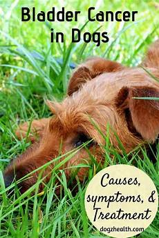 Bladder Cancer Dogs Bladder Cancer In Dogs Symptoms Causes And Treatment