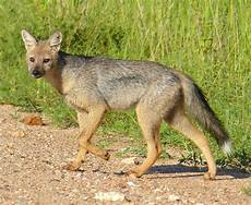 Lupo Lights Australia Wild Dog Species List With Pictures Types Of Wild Dogs