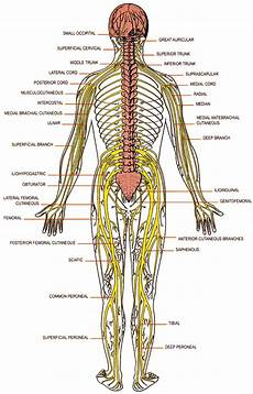 Chart Of Nerves In Back Disc Herniation Treatment Toronto Carpal Tunnel