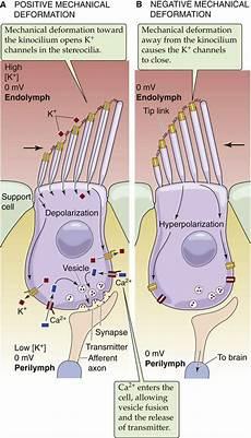 Hair Cells Vestibular And Auditory Transduction Hair Cells Sensory