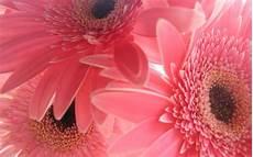 flower wallpapers for pc desktop free pink wallpapers for desktop wallpaper cave