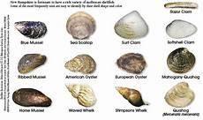 Shellfish Chart Shellfish Identification New Hampshire Saltwater Fishing